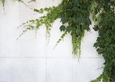 Folhas do verde da natureza no fundo do branco da parede Fotografia de Stock