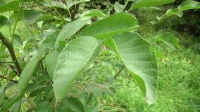 Folhas do verde da noz Plântula nova da noz no jardim do verão video estoque