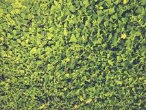 Folhas do verde da parede Foto de Stock