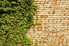 Folhas do verde da parede de tijolo, fundo Fotografia de Stock Royalty Free