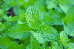 Folhas do verde da pastilha de hortelã Imagens de Stock Royalty Free