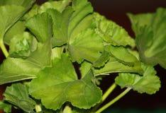 Folhas do verde da planta do gerânio no fundo preto Imagens de Stock