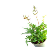 Folhas do verde da samambaia Fotografia de Stock Royalty Free