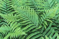 Folhas do verde da samambaia Fundo das folhas da samambaia fotos de stock royalty free