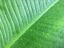 Folhas do verde da textura do fundo da folha da banana Imagem de Stock
