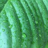 Folhas do verde da textura do fundo da folha da banana Imagem de Stock Royalty Free