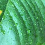 Folhas do verde da textura do fundo da folha da banana Imagens de Stock Royalty Free