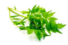 Folhas do verde da valeriana isoladas no fundo branco imagens de stock royalty free