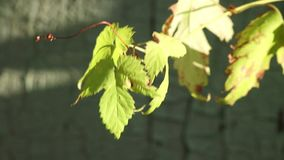 Folhas do verde da videira de lúpulo no vento video estoque