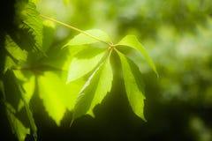 Folhas do verde da videira virgem Imagem de Stock