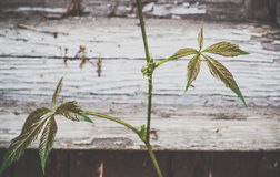 Folhas do verde da videira virgem Fotografia de Stock