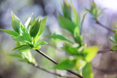 Folhas do verde das árvores Fotografia de Stock