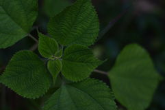 Folhas do verde das plantas Fotografia de Stock Royalty Free
