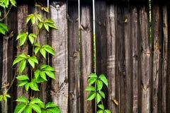 Folhas do verde das uvas selvagens na sagacidade de madeira do fundo do vintage Imagem de Stock