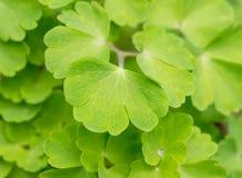 Folhas do verde de Aquilegia Foto de Stock Royalty Free