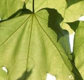 Folhas do verde de Brighr (fundo) Fotografia de Stock Royalty Free