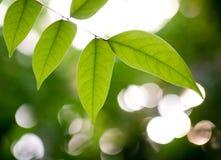 Folhas do verde de encontro à luz Imagem de Stock Royalty Free