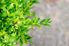 Folhas do verde de um arbusto Fotografia de Stock