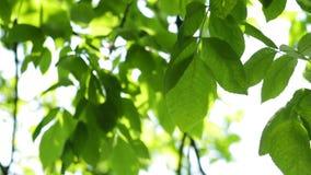 Folhas do verde de uma árvore vídeos de arquivo