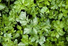 Folhas do verde do aipo Fotografia de Stock