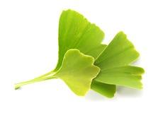 Folhas do verde do biloba do Ginkgo Fotos de Stock