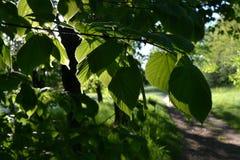 Folhas do verde do cal na luz de contraste Imagens de Stock Royalty Free