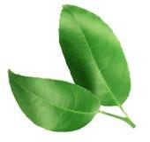 Folhas do verde do citrino isoladas no fundo branco Imagens de Stock Royalty Free