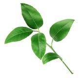 Folhas do verde do citrino isoladas no fundo branco Foto de Stock