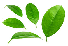 Folhas do verde do citrino isoladas no fundo branco Fotos de Stock