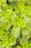 Folhas do verde do Close-Up de Sedum Spurium Foto de Stock Royalty Free