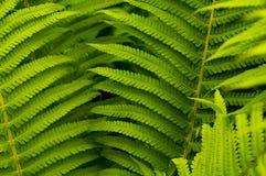 Folhas do verde do fern fotografia de stock