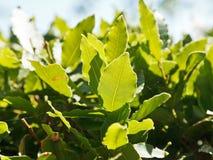 Folhas do verde do fim da árvore do louro acima fora Fotografia de Stock