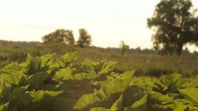 Folhas do verde do girassol vídeos de arquivo