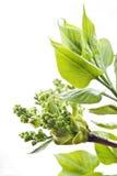 Folhas do verde do lilac Imagem de Stock Royalty Free