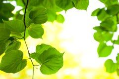 Folhas do verde do linden Fotos de Stock