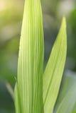 Folhas do verde do milho planta com as grandes folhas longas Fotos de Stock Royalty Free