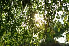 Folhas do verde do salgueiro, parede verde, Fotos de Stock Royalty Free