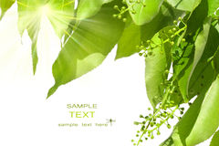 Folhas do verde do verão com sol Foto de Stock