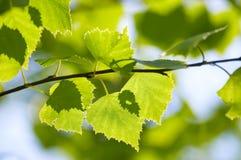 Folhas do verde do vidoeiro Imagens de Stock