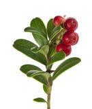Folhas do verde e airelas vermelhas no ramo Imagem de Stock