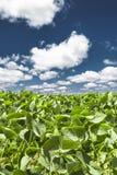 Folhas do verde e céu azul com nuvens do algodão fotografia de stock royalty free