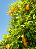 Folhas do verde e laranjas maduras na árvore Imagem de Stock Royalty Free