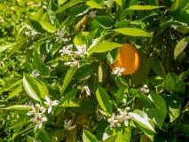 Folhas do verde e laranjas maduras na árvore Fotos de Stock