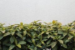 Folhas do verde e parede branca Foto de Stock Royalty Free