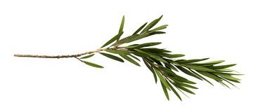 Folhas do verde e ramo da árvore da escova de garrafa isolada no fundo branco imagem de stock royalty free