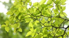 Folhas do verde em filiais filme