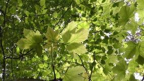 Folhas do verde em filiais video estoque