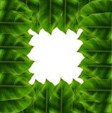 Folhas do verde em torno do fundo branco Fotografia de Stock Royalty Free