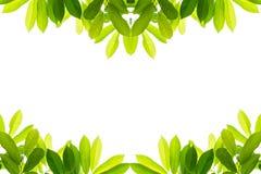 Folhas do verde em um fundo branco Fotografia de Stock Royalty Free