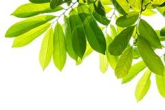 Folhas do verde em um fundo branco Foto de Stock Royalty Free